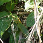 Lizard, Sinharaja, Rain Forest, Sri Lanka