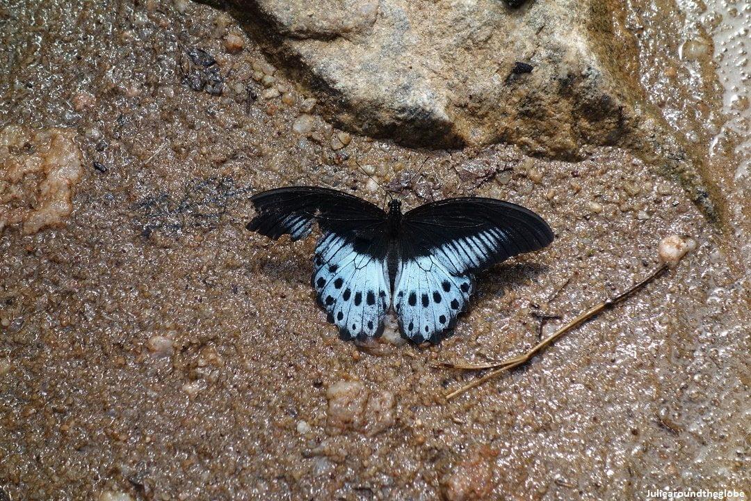 Butterfly, Kaludiya Pokuna, Sri Lanka
