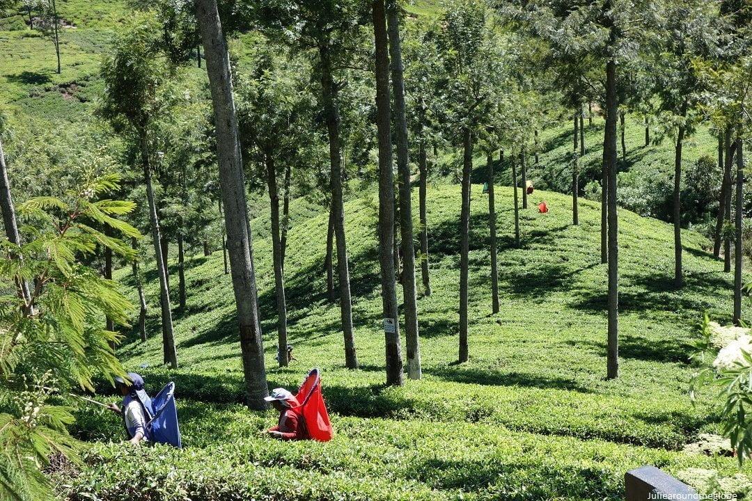Leaf picking, Pedro tea estate, Nuwara Eliya, Sri Lanka