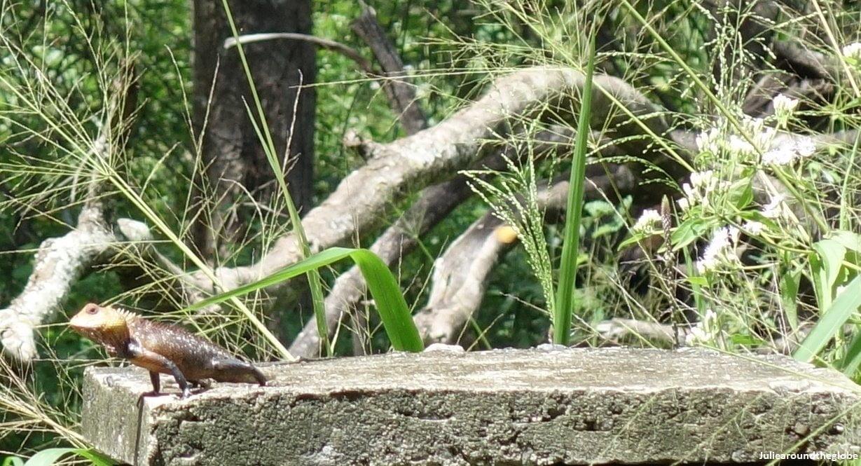 Lizard, Kaludiya Pokuna, Sri Lanka